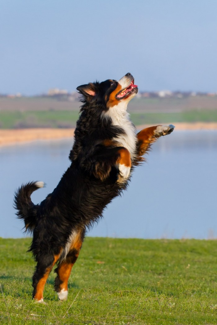 dog arthritis, ligament rupture, lameness and joint pain are common in overweight dogs